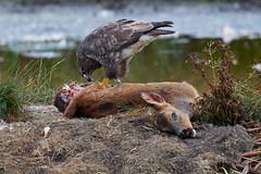 Buzzard feeding (geonix_) Tags: birds raptors buzzard buteo carrion