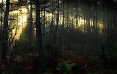 Morning fog in the forest, Dragsfjärd, Finland, October 2016 (Juha Riissanen) Tags: suomi fog morning autumn soft sun trees sunshine finland dragsfjärd kemiö kimitö forest