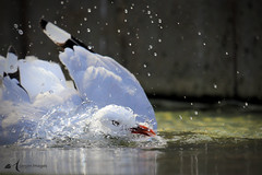 Quick Dip (Asarum Images (asarumimages.weebly.com)) Tags: bird gull seagull splash water clean preen dip asarumimages asarum canon canonphotography canoneos6d