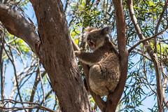 Am I boring you? D50_6148.jpg (Mobile Lynn) Tags: wild koala nature marsupials fauna wildlife macgillivray southaustralia australia au coth specanimal coth5 ngc sunrays5 npc