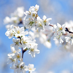 Everywhere You Look (Lala Lands) Tags: everywhereyoulookitsspring japanesefloweringcherry whitecherryblossoms sprngmorninglight floweringtrees floweringcherrytrees bokeh dof nikkor105mmf28 nikond7200 💛