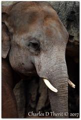 Asian Elephant / Elephas maximus (ctofcsco) Tags: 1div canon colorado explore northamerica usa elephas maximus elephasmaximus ef200mm f2l is usm 14x ef200mmf2lisusm14x ef200mmf2lisusm ef14x extender teleconverter supertelephoto 280mm 200mm 11000s iso100 f28 eos1d mark iv canoneos1dmarkiv eos1dmarkiv mark4 markiv 1d elephant portrait zoo denver co classmammalia orderproboscidea familyelephantidae genuselephas speciesmaximus