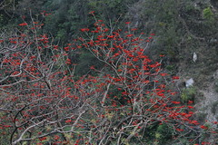Indian coral tree (prasanth_p_jose) Tags: iitmandikamandcampus landscape floraandfauna