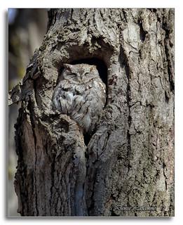 103A0769-DL   Petit-duc maculé (mâle) / Eastern Screech-Owl (male).