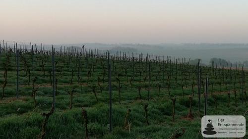 Greifvogel in den Weinbergen