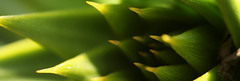 El Monkey Puzzle (Dove - Photography) Tags: dovahkiindovahkiin naal ok zin los vahriin wah dein vokul mahfaeraak ahst vaal ahrkfinnorokpaalgraanfodnusthonzindrozaan dovahkiin fah hin kogaan mu draal ihopesomeofyouguysaregamers ~~nowfortheactualtags~~~ photography dove macro abstract arty weird le monkey puzzle plant wildlife green floral flowers trees