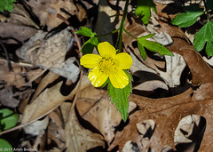 Buttercup (Arlen Breiholz) Tags: usa springwildflowers plants linncounty eos7d faulkeswoods cameras iowa places wildflowers cedarrapids unitedstates us