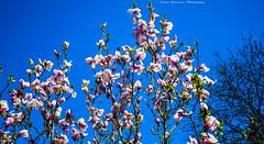 Magnolias...20 (Don Costello) Tags: springtime blossom flowers floral beauty sky nature simeria romania hunedoara nikon d3300 plant magnolia arboretum park