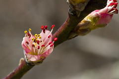 Peach Blossoms Opening (brucetopher) Tags: peach blossom pistil stamen pollen peachy pink bokeh tiny delicate lacey lace soft pattern closeup macro bloom flower flowering tree fruittree transition branch twig transparent vibrant shimmering shadow light sunlight spring changeofseason season