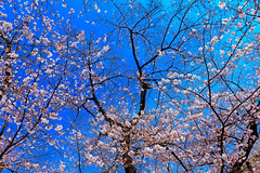Cherry Blossom in Yasukuni Shrine : 靖国神社の桜 (Dakiny) Tags: 2017 spring april japan tokyo chiyoda chiyodaward kudanshita city street outdoor shrine yasukunishrine nature field plant tree flower cherry blossom cherryblossom sky blue nikon d7000 sigma 1770mm f284 dc macro os hsm sigma1770mmf284dcmacrooshsm club