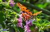 Butterfly (Guilherme GMP) Tags: identified gulffritillary agraulisvanillae challengeyouwinner cyunanimous