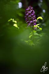 Colori nel Sottobosco (Torchia Marco) Tags: macro macroenaturaripresadavicino flora orchidea bosco sottobosco nikond7200 boken