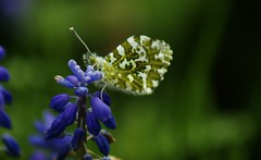 Orange tip, closed wings.  Explore (Paul (Barniegoog)) Tags: orangetip butterfly nature grapehyacinths garden