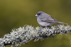 Junco ardoisé / Dark-eyed junco (Sylvain Prince) Tags: juncohyemalis