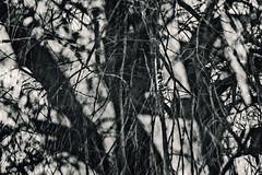 Sixteenth Disintegration (pni) Tags: monochrome tree trunk branch twig multiexposure multipleexposure tripleexposure töölönlahti tölöviken helsinki helsingfors finland suomi pekkanikrus skrubu pni