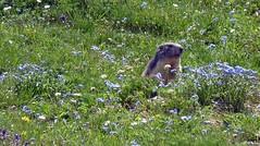 Il risveglio della marmotta a primavera (giorgiorodano46) Tags: giugno2010 june 2010 giorgiorodano marmotta primavera valveni valdaosta alpi alps alpen spring marmot marmotte printemps