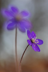 Hepatica 10 (jttoivonen) Tags: nature outdoors flowers plants blue spring bokeh finland creativecommons macro closeup
