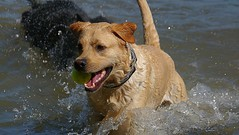 Living The Dream (swong95765) Tags: dog water awesome canine animal retrieval ball pursuit lake shallows winner