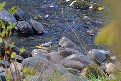 conwy grey wagtail 1 (Lord Edam) Tags: river afon llugwy conwy wildlife morning water rocks fields birds grey wagtail