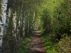 potteric carr pathway (Johnson Cameraface) Tags: 2017 april spring olympus omde1 em1 micro43 zd zuiko macro 50mm f2 johnsoncameraface pottericcarr pottericcarrnaturereserve naturereserve southyorkshire doncaster path walk yorkshirewildlifetrust ywt trees silverbirch