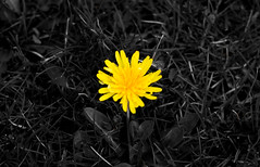 Signs of Spring (bboneyardd) Tags: windsor ontario canada nikon d5200 selective colour ambassador bridge waves water spring dandelion contrast natural light moody flower weed