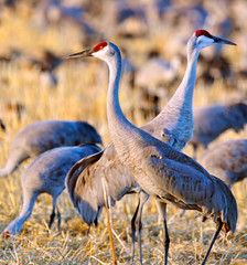 The Last Light (DocNordic) Tags: colorado sandhill sandhillcranes montevistanationalwildliferefuge refuge reserve birds migration sedge nationalwildliferefuge southerncolorado