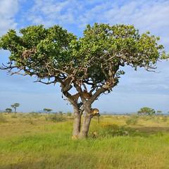 Lion tree (John Kok) Tags: tanzania grumeti april2017 lion pantheraleo lgv20