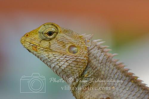 A garden fence lizard @hua hin, Thailand