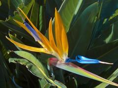 Las Vegas for bees (Riex) Tags: birdofparadise oiseaudeparadis flower fleur nature eclos blooming colorful colorié z990 schneiderkreuznach variogon kodakeasysharemax