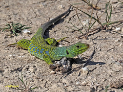 Lagarto ocelado (Timon lepidus) (9) (eb3alfmiguel) Tags: reptiles lagarto