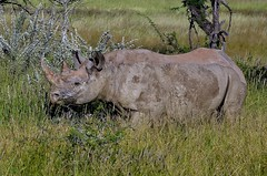 Black Rhino - browsing in Etosha National Park, Namibia. (One more shot Rog) Tags: rhinos rhino blackrhino black big tough rhinocerous large affica namibia safari etoshanationalpark browsers grass horn rhinohorn wildlife africaafrican rhinoceros