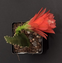 epiphyllum lily (nitedojo) Tags: epiphyllum lily nitedojo