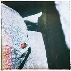 Red (MsFerret_Art) Tags: snapseed vintage lightleaks ladybug ladybird beetle marienkäfer frühling light spring käfer iphone iphone7 red