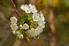 Spring :-) (Jurek.P) Tags: blossoms flowers spring closeup warsaw warszawa poland polska jurekp sonya77