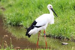 Oriental white stork (Teruhide Tomori) Tags: orientalwhitestork bird animal japan japon コウノトリ 兵庫県立コウノトリの郷公園 日本 鳥