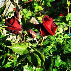 Roses from my garden,  good mornig (antoniosanchezserrano) Tags: instagramapp square squareformat iphoneography uploaded:by=instagram lofi rosa rose garden flowers jardin