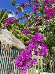 Version 2 Cozumel Mexico April 2017 (bermudafan8) Tags: 2017 spring break bermudafan8 flowers cozumel mexico uvasbeach