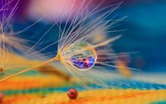 dandelion (Ⓨ a s m i n e Ⓗ e n s +4 900 000 thx❀) Tags: dandelion macro drop color hensyasmine
