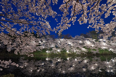night cherry blossoms (peaceful-jp-scenery (busy)) Tags: cherry blossoms flower spring sakura takadapark takadajoucastle サクラ 桜 夜桜 春 高田公園 高田城 日本三大夜桜 観桜会 上越 新潟 日本 sony α99ⅱ a99m2 ilca99m2 amount sal1635z variosonnart*1635mmf28zassm carlzeiss