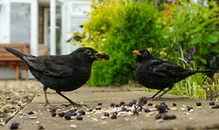 Can you get this many currants in your mouth? (bainebiker) Tags: blackbirds feeding wildlife garden 4kframegrab nature langtoft lincolnshire uk