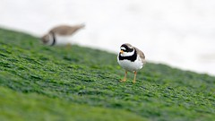 Common Ringed Plover pair (male in foreground) (Peet Carr) Tags: plover ringedplover commonringedplover charadriushiaticula charadrius charadriidae charadriiformes neoaves neornithes