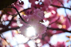 Cherry Blossom and Sunlight (thoth1618) Tags: ny nyc newyork newyorkcity brooklyn botanic garden bbg brooklynbotanicgarden tree branch flower flowers blossom blossoms cherry cherryblossom cherryblossoms pink light bokeh sakura prunus april spring 2017 photooftheday