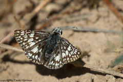 2135 Common/White Checkered-Skipper (paule48) Tags: ajo animal arizona checkeredskipper commoncheckeredskipper pyrguscommunis thethicket usa butterfly insect white black checkered