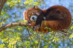 Red Panda (glenda.suebee) Tags: animals zoo columbus spring 2017 red panda ohio glendaborchelt cute