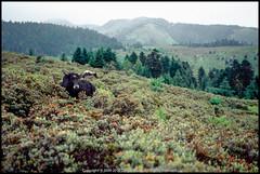 *Yunnan (WangDingyi) Tags: canoneos30 color film canonef2470mmf28lusm e100vs slide china yunnan animal travel 135 landscape