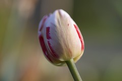 tulp (polletjes) Tags: tulip tulp bulb flower flowers bloem bloemen fleur fleurs blume red rood wit white weiss blanc rouge rot groen green vert natuur nature nederland netherlands garden tuin soft lente spring voorjaar printemps frühling