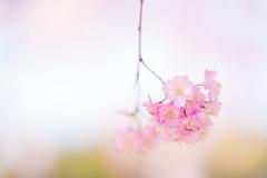 花束 (qrsk) Tags: flower blossom cherryblossom pink bokeh 枝垂れ桜 桜 ヤエベニシダレ 自然 ピンク 春 spring