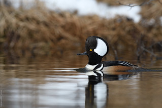 Harle couronné ♂ Hooded merganser (2017-04-21)