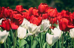 Tulipani italiani? (LoomahPix) Tags: beautiful beauty colour flickr flora floral flower green kew kewgardens natural nature organic red spring tulip white
