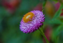 Strawflower (Helichrysum bracteatum) (Changer4Ever) Tags: nikon d7200 nikkor flower plant life nature bokeh dof depthoffield macro blooming blossom color colorful season outdoor
